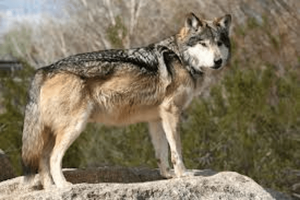Mexican Gray Wolf in Arizona