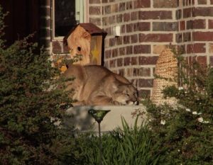 Mountain Lions forced into Neighborhoods