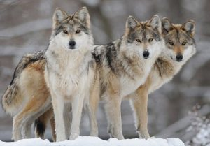 Mexican-Gray-Wolf