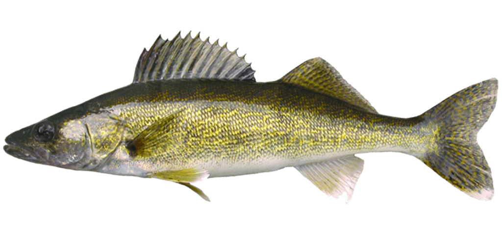 walleye yellow