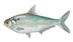 The Gizzard Shad