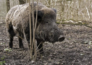 This hog may have pretty eyebrows but it is big enough to cause damage