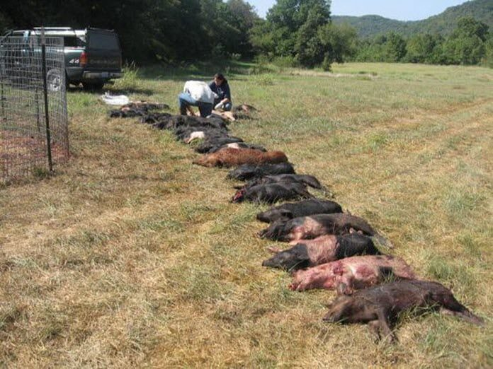 Capturing Feral Hogs is another popular method