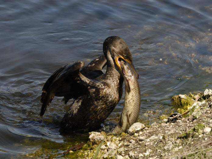 Double Crested Cormorant Eating Fish