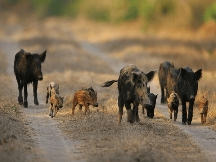 The Reproduction Issues of Feral Hogs