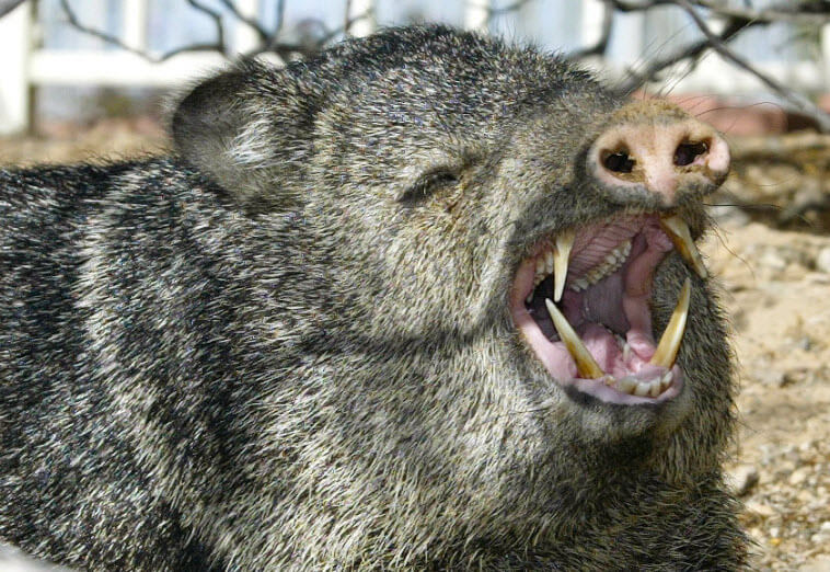 What have you discovered today? - Page 34 Javelina_Nose_and_Tusks