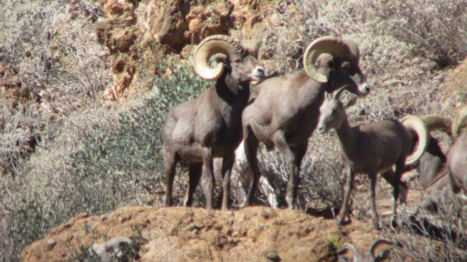 Arizona Bighorn Sheep