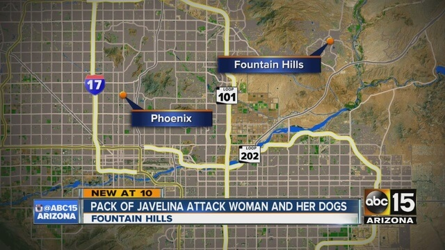 Pack of Javelina Attack Woman