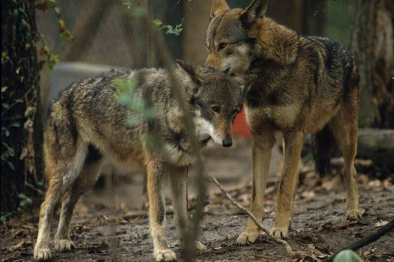 Red Wolves in the Wild