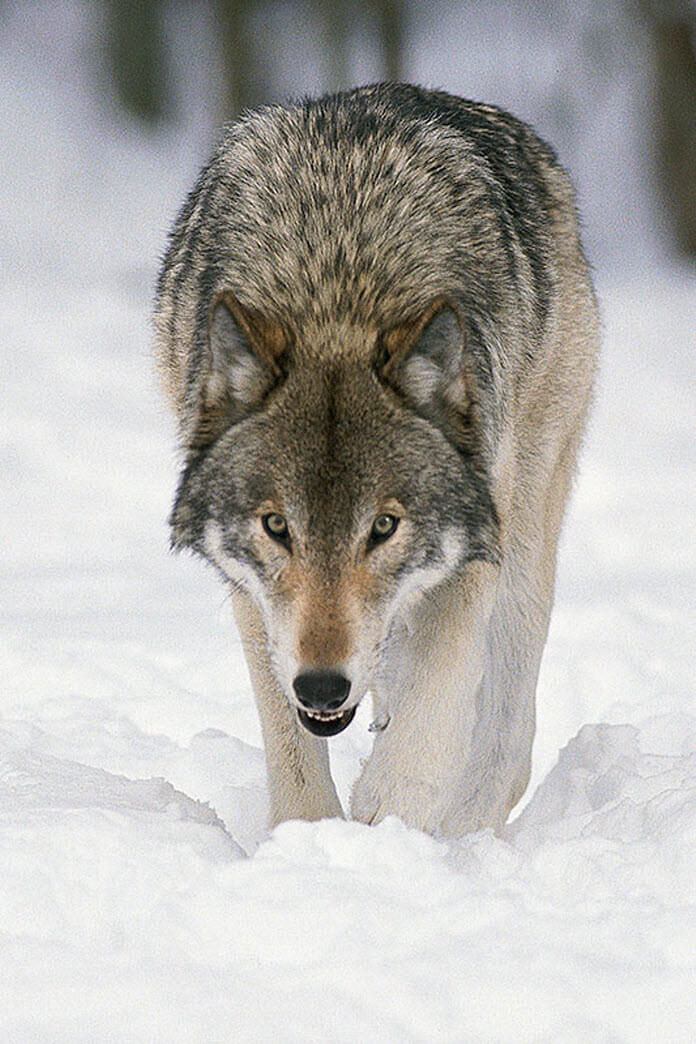 Rocky Mtn Timber Wolf