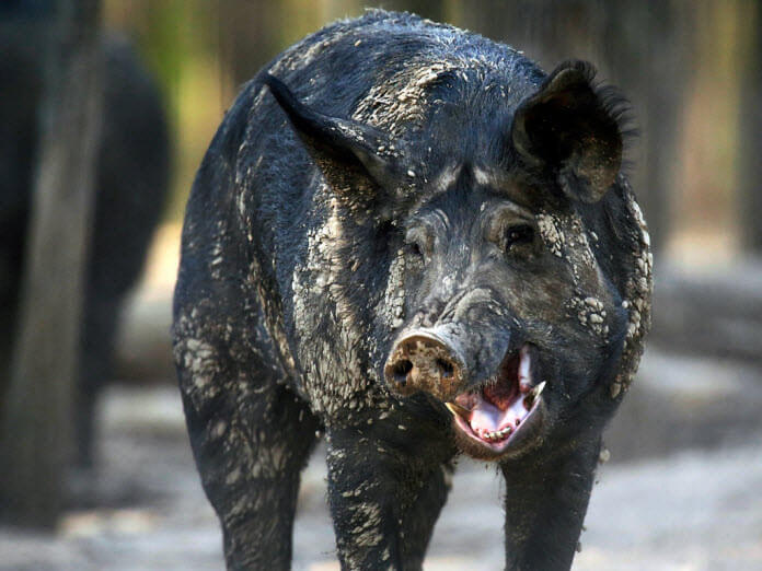 The Male Feral Hog