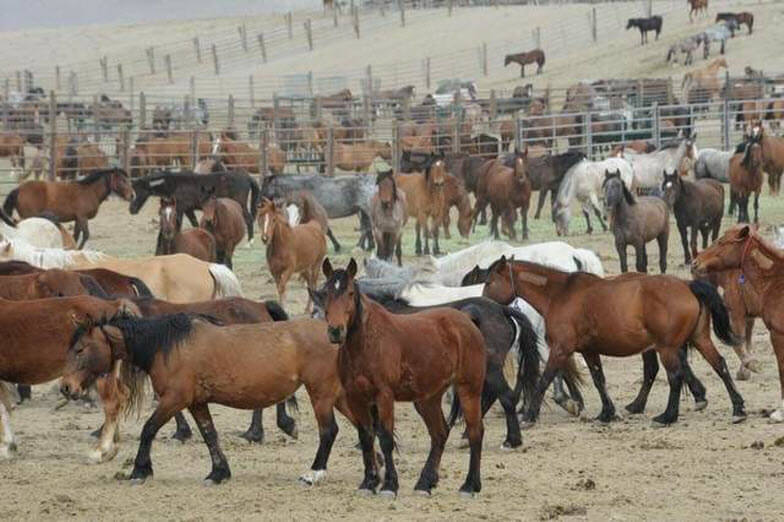 Horses & Burros now overrun the west