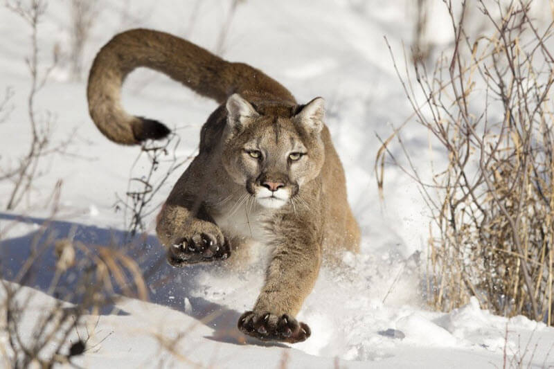 Mountain Lion on the run