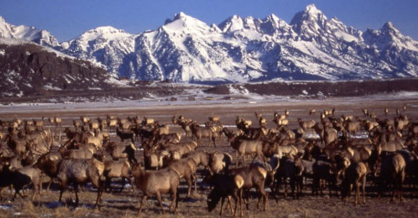 Elk Heard at Tetons