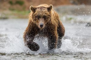Grizzly on the charge