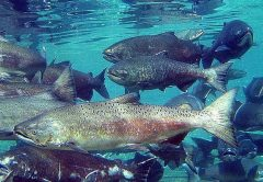Idaho Chinook Salmon