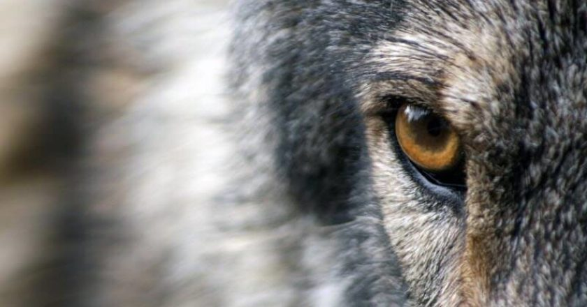 The Eye of the Mexican Gray Wolf
