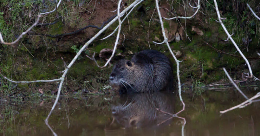 The Adult Nutria