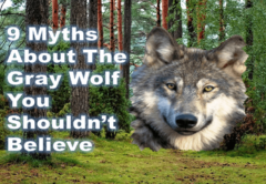 9 Myths about Wolves