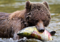 Grizzly on the Catch
