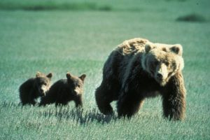 Grizzly Sow with cubs in Glacier Park