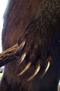 Grizzly claws are longer than an American black bear's and adapted for digging