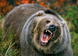 North America Grizzly Bear