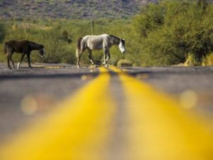 Salt River Horses with no Containment