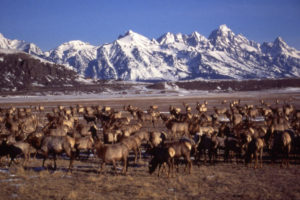 Elk Herd at Grand Tetons
