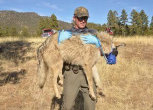 AZGFD Transporting Wolves