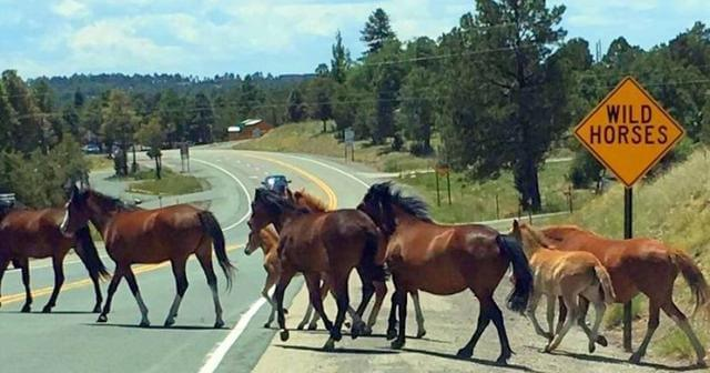 Wild Horses crossing road