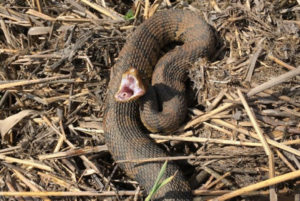 Northern Cottonmouth (venomous) Photo credit J.D. Kleopfer