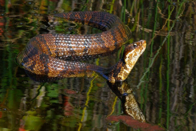Northern cottonmouth Photo credit John White