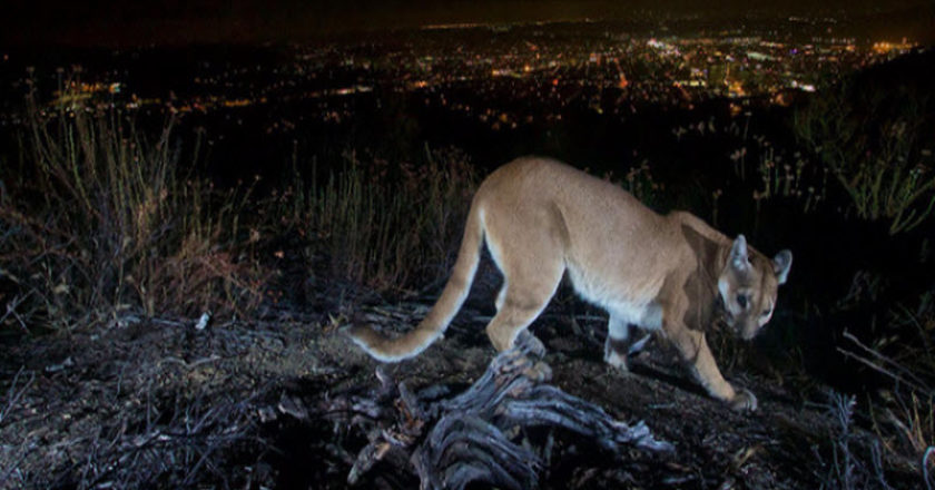 Mountain Lion with LA background