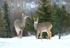 Whitetail-does-in-winter