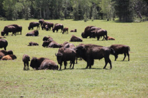 Grazing Canyon Bison