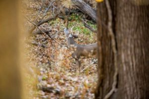 A buck deposits scent from his forehead above a scrape in rural Cass County, NE