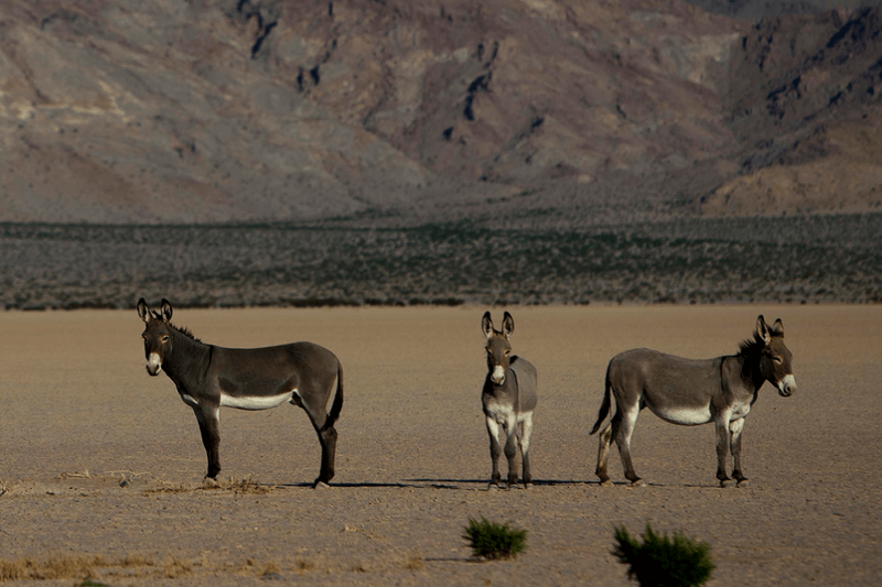Death Valley Burros