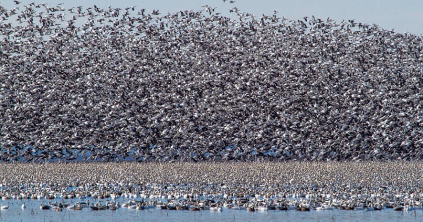 More than a million snow geese blot out the sky