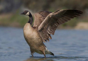 The Canadian Goose 2