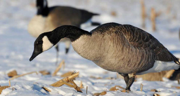 The Canadian Goose