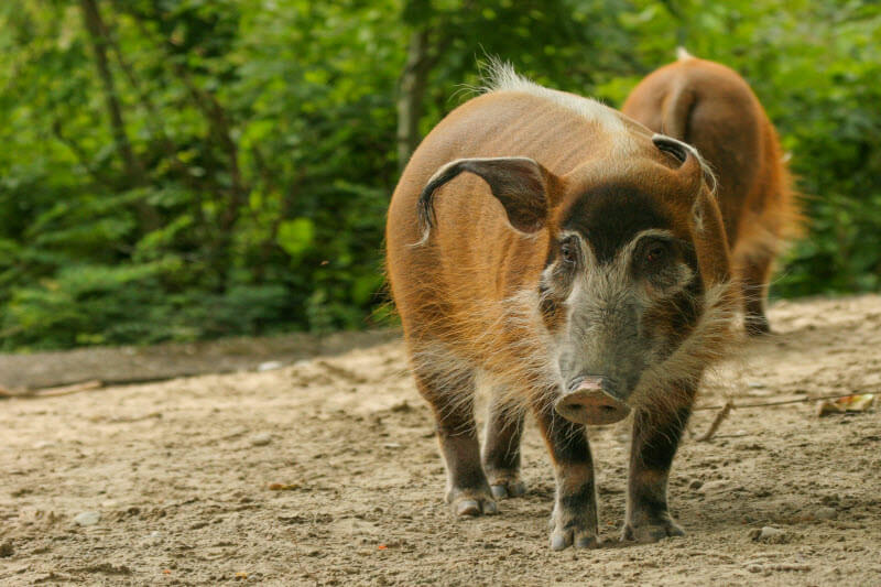 Red-river-hog.-Photo-by-Mario-Melletti