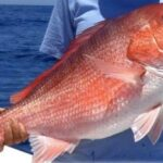 The Red Snapper is not just for Commercial Fishing Anymore