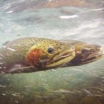 The Decline in Spawning Fish Closes Steelhead Fisheries in Oregon and Washington